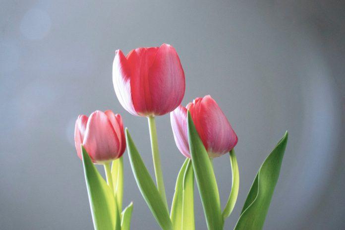 najpiękniejsze odmiany tulipanów